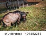 Lucky Goat In Farm