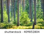 a pine forest in finland | Shutterstock . vector #409852804