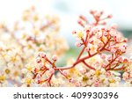 photinia blossoms in april. | Shutterstock . vector #409930396
