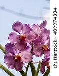 Small photo of Pink orchids vanda in the garden.