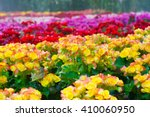 Colorful  Begonia Flowers In...