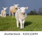 young lambkin in a spring... | Shutterstock . vector #410112694