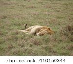 Sleeping Lion In Ngorongoro...