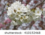 flowering sacura tree | Shutterstock . vector #410152468