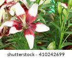 Brown Lilly Flower Background