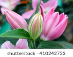 Pink Lilly Flower Background