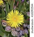 Small photo of Aizoaceae (the fig-marigold family or ice plant family)