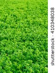 Small photo of Texture young alfalfa . Grass field .