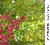 Small photo of Acer palmatum, japanese maple on light green background
