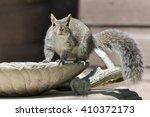 Eastern Gray Squirrel Looking...