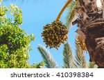 palm tree with date fruits.... | Shutterstock . vector #410398384