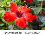 baby hibiscus flower at queen... | Shutterstock . vector #410492524