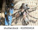 Coconut Crab  An Iconic Animal...