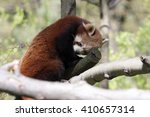 Small photo of Resting Red Panda, Ailurus f.fulgens