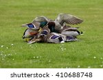 Small photo of Mallard, Duck - Molestation in group. The amok fight for a female.