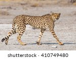 Small photo of Cheetah (Acinonyx jubatus) walking on the Etosha Pan, Namibia