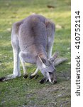 Small photo of adult male red kangaroo, Megaleia rufa