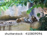 Sleeping Tiger On Rock In The...