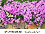 Creeping Phlox In A Rock Garden