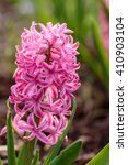Pink Hyacinth In The Hyacinth...