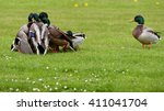 Small photo of Mallard - Molestation in group in the amok fight for a female.