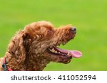 Tired Brown Poodle Panting For...