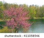 Flowering    Eastern Redbud In...