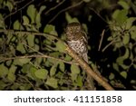 Small photo of African Barred Owlet (Glaucidium capense) at night, Botswana, 2015