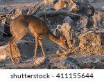 dik dik  madoqua kirkii ... | Shutterstock . vector #411155644