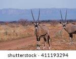 African Oryx  Oryx Gazella ...