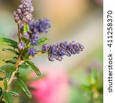 Small photo of A macro shot of the flower buds from a ceanothus bush.