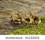Four Canada Goslings Are Going...