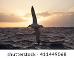Small photo of Wandering Albatrosses in Drake Passage