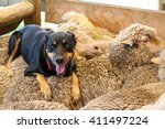 Shepherd Dog On Sheep  Australia