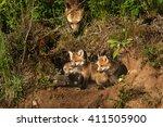 Red Fox Kits In Den  Vulpes...