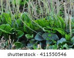 green plantain plants in growth ... | Shutterstock . vector #411550546