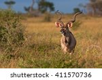 Greater Kudu  Tragelaphus...