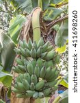 banana tree with a bunch of... | Shutterstock . vector #411698260