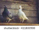 Mixed Pigeon Pair With White...