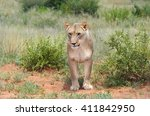 Wild Lioness Standing And...