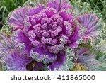 Ornamental Kale Nagoya Rose