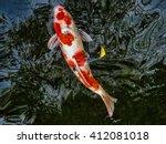 Red And White Koi Carp Swimmin...
