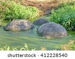 Giant Tortoises In An Algae...
