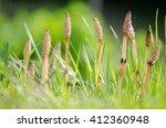 Field Horsetail  Equisetum...