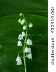A Lone White Flower Lily Of Th...