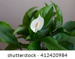 White Spathiphyllum With Green...