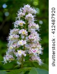 Small photo of Aesculus hippocastanum, blossom of horse-chestnut tree