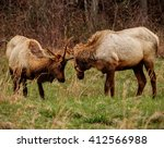 Elk Fighting For Dominance ...