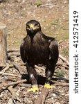 Small photo of Harris's Hawk, Parabuteo unicinctus, often behave falconers