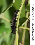 Caterpillar Of A Pipevine...